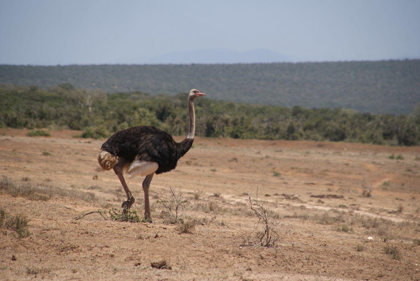 Struisvogel in Addo Elephant Park ©Fair Mundo Travel