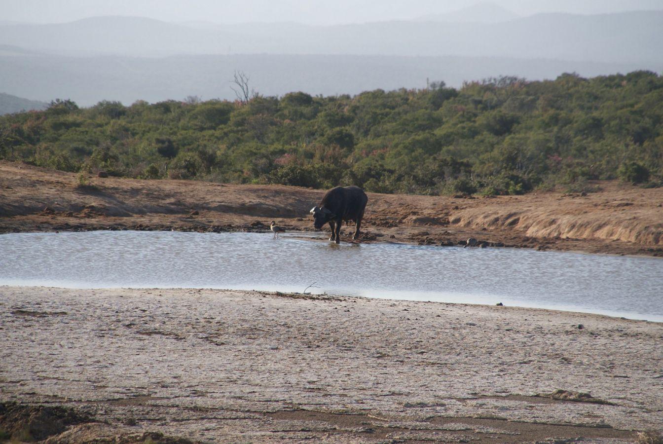 Buffel in Addo Elephant Park ©Fair Mundo Travel