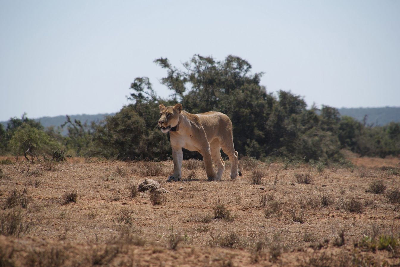Leeuw in Addo Elephant Park ©Fair Mundo Travel