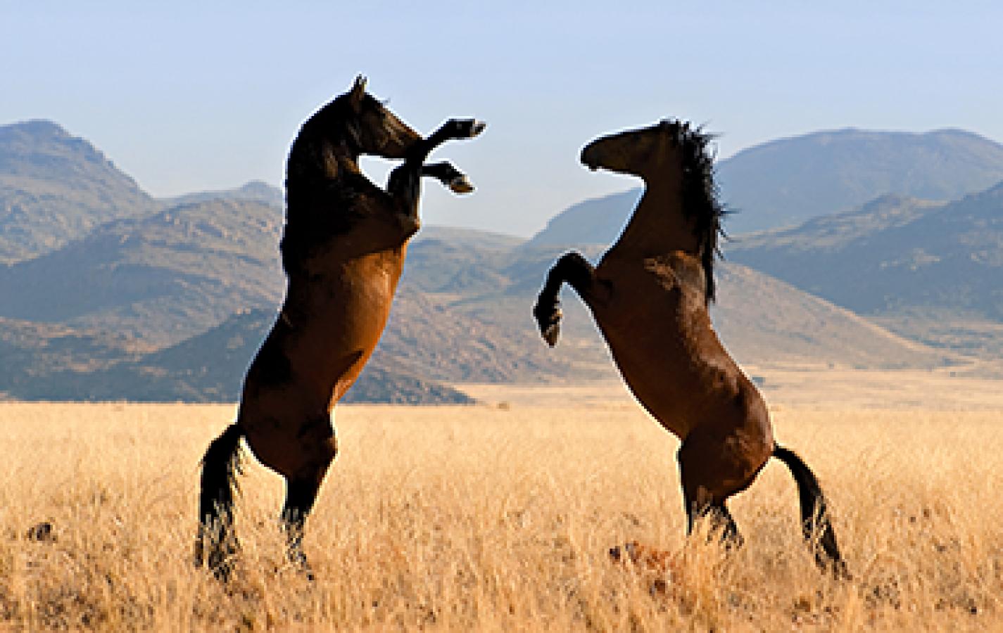 Namib Feral Horses