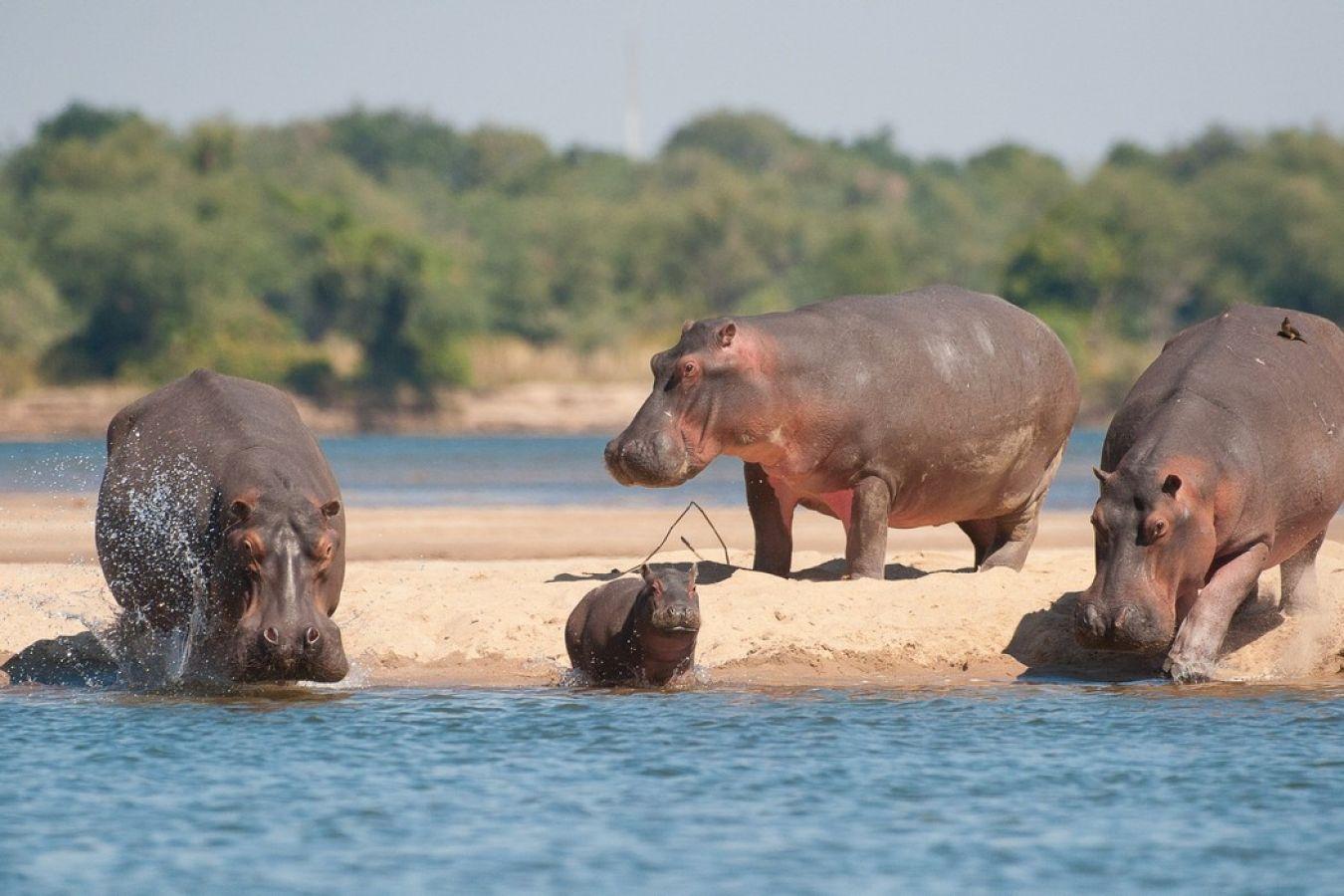 Baines River Camp nijlpaarden