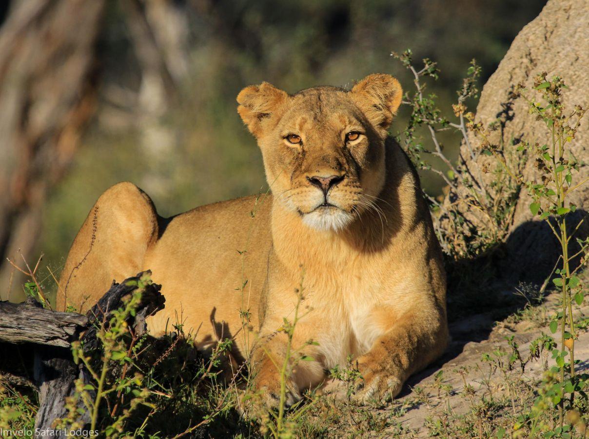 Leeuw in Hwange National Park