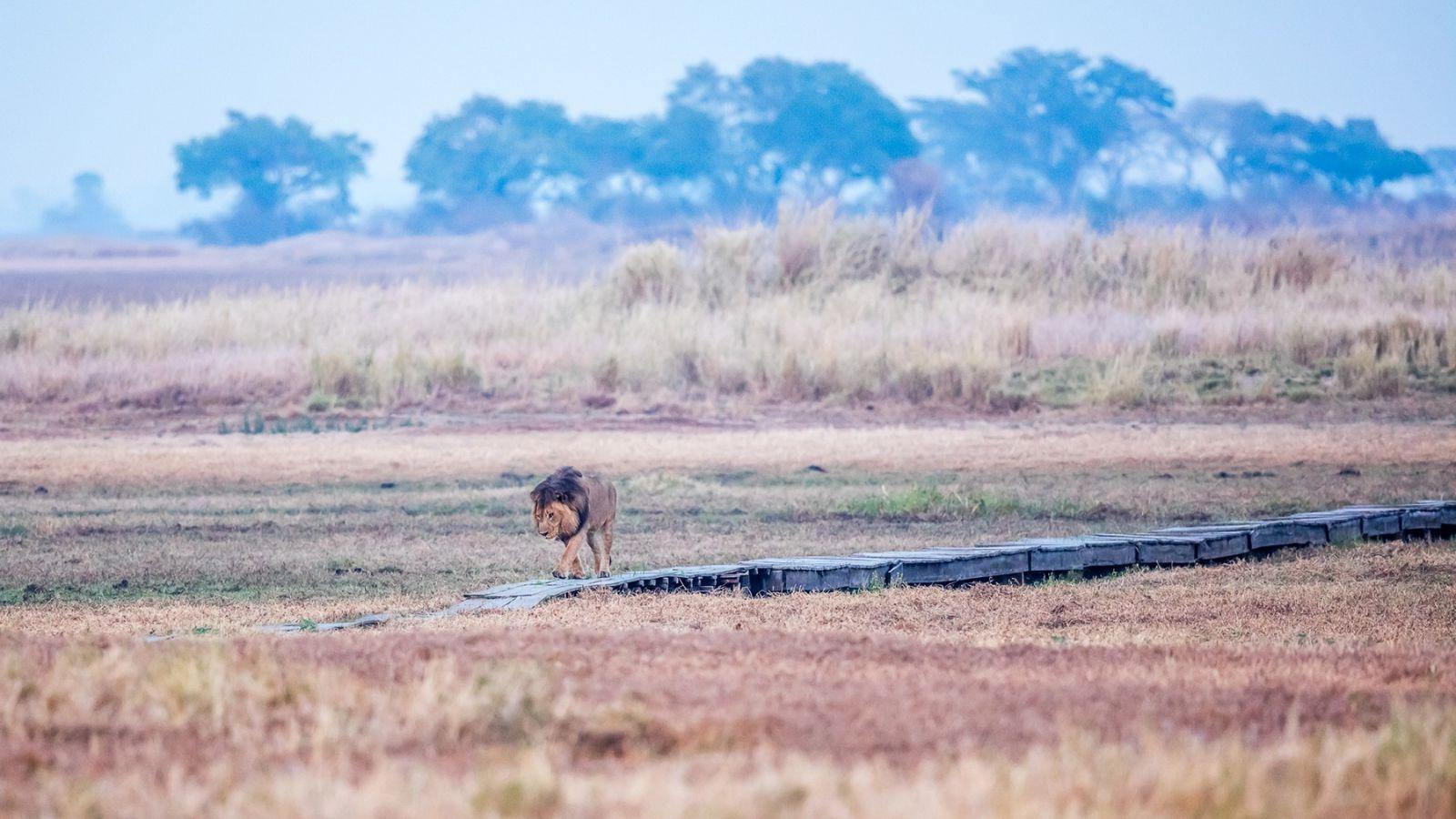 Busanga Plains Camp leeuw