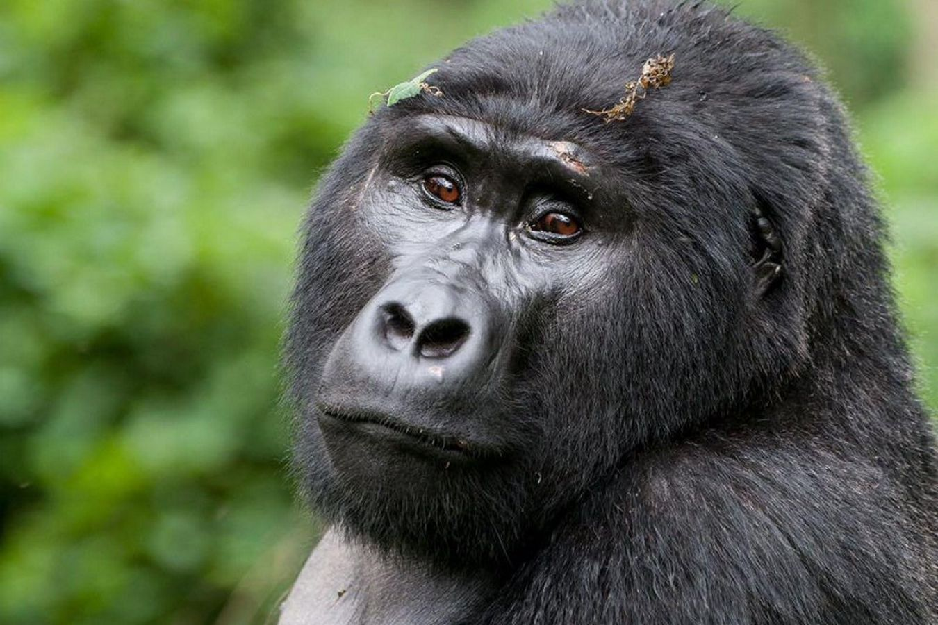 Berggorilla in Bwindi Impenetrable National Park