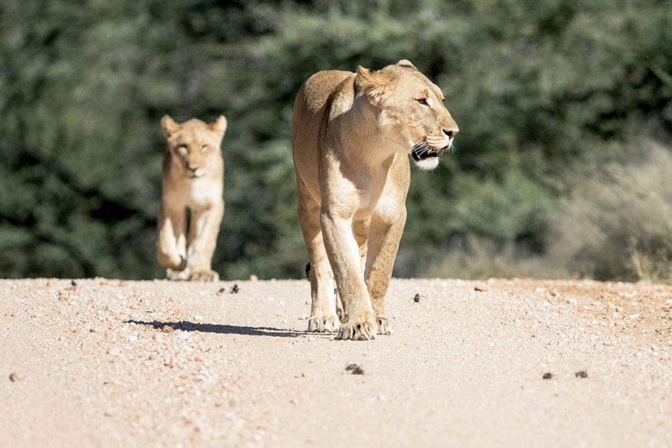 Erindi Game Reserve leeuwin
