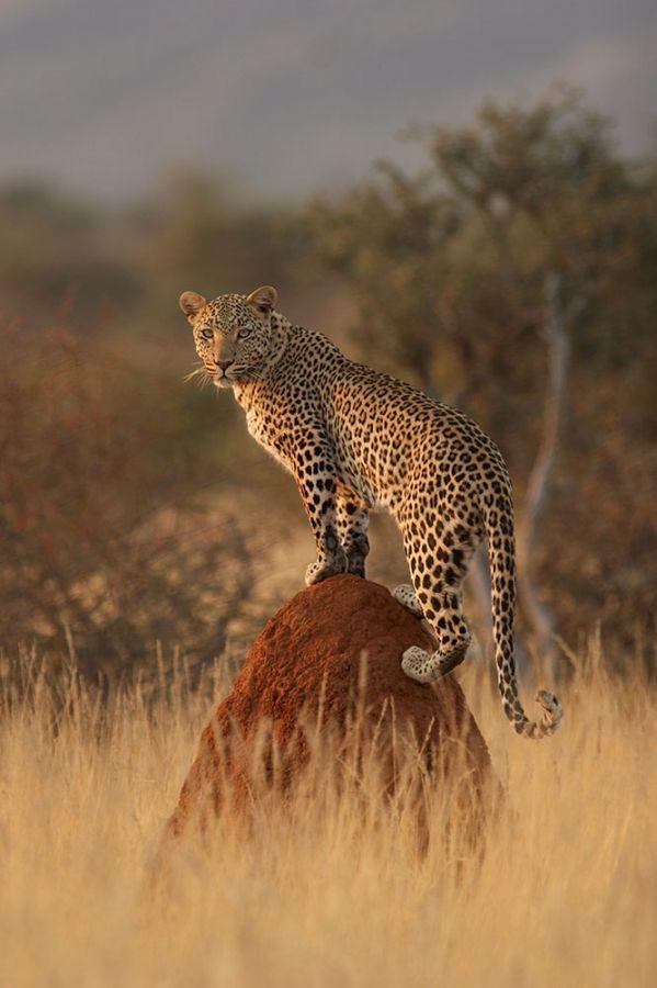 Erindi Game Reserve luipaard