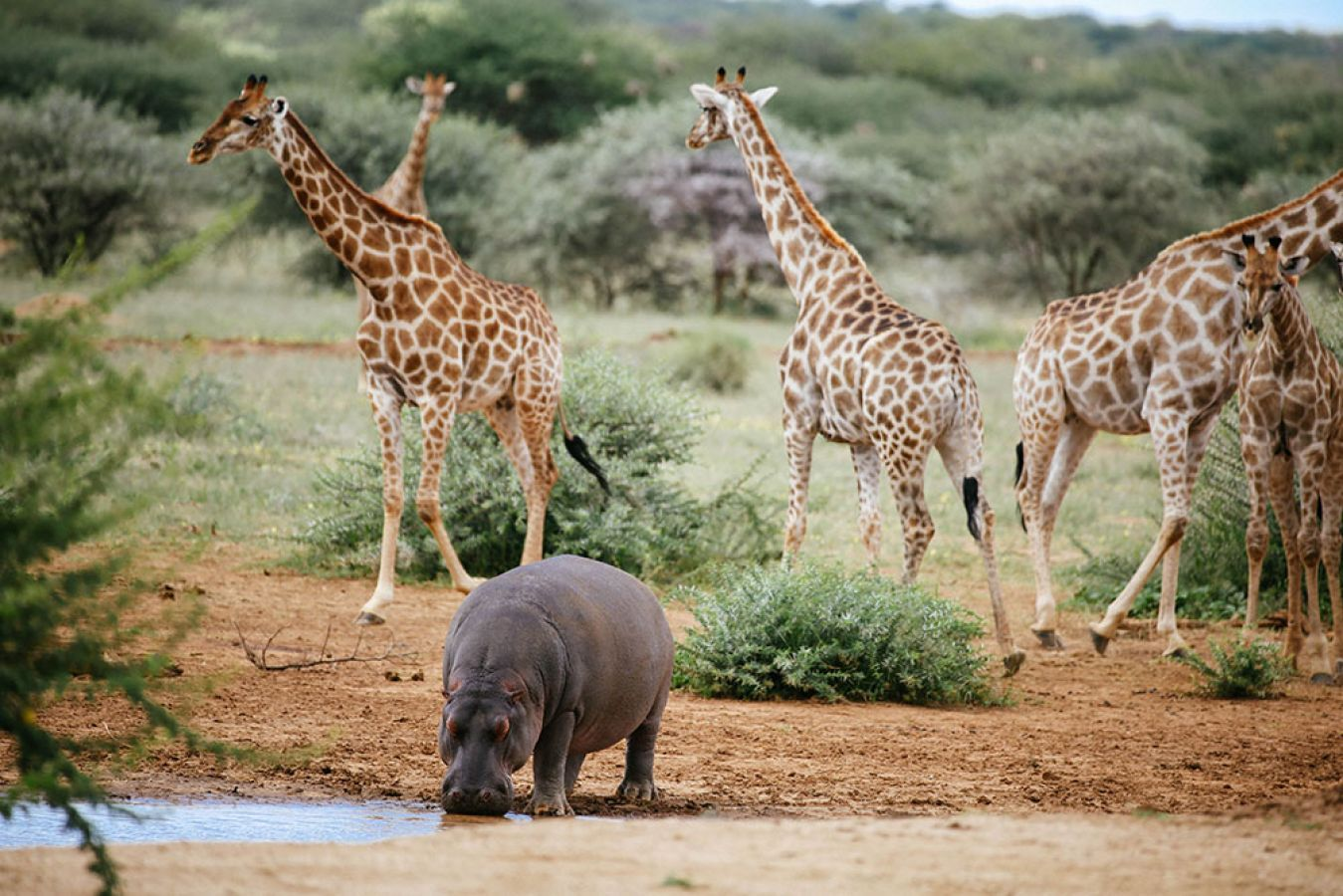 Erindi Game Reserve nijlpaard en giraffen