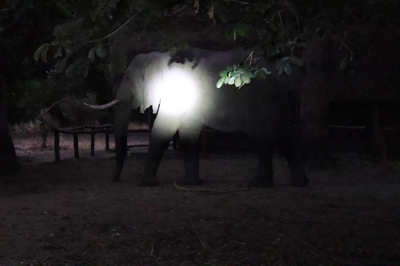 Flatdogs Camp olifant loopt tussen safaritenten
