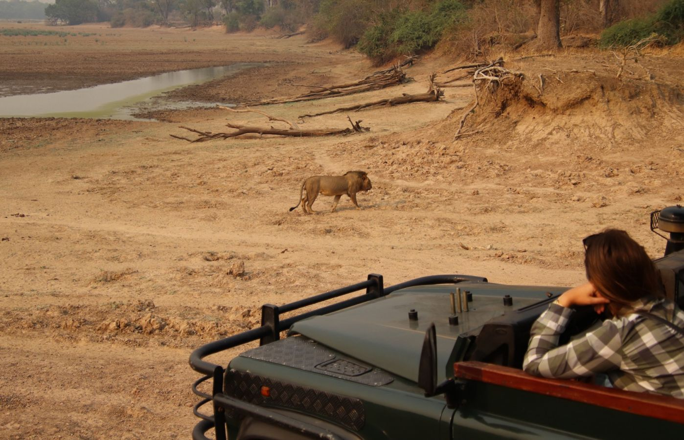 Flatdogs Camp leeuw tijdens game drive safari
