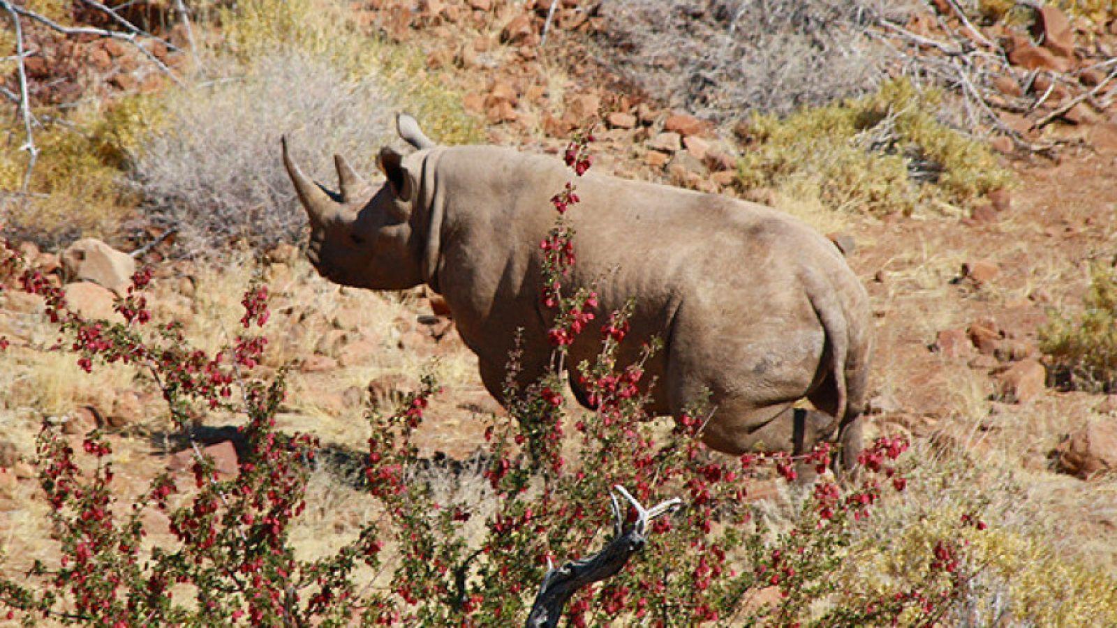 Rhino Tracking Grootberg Mountains