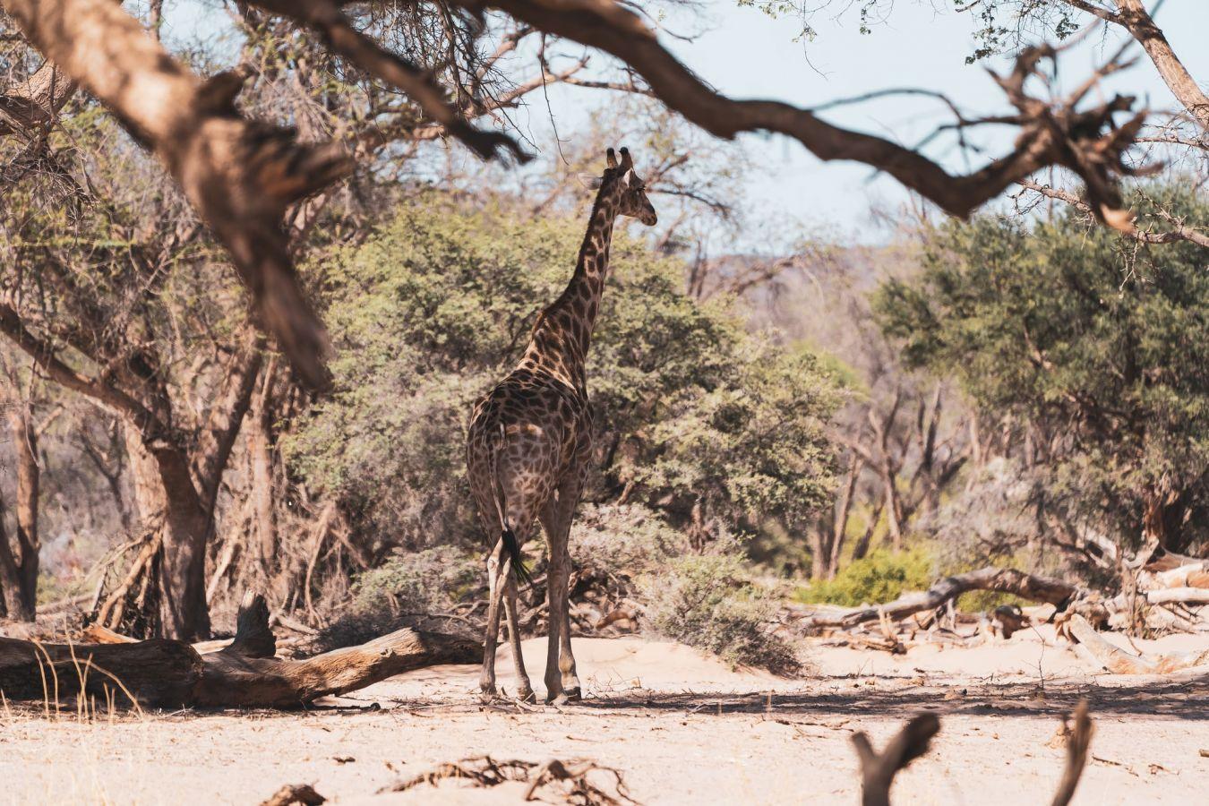 Giraf in Kaokaland