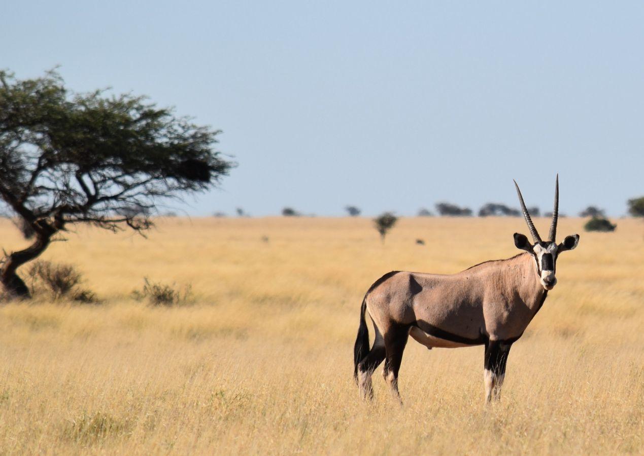Kgalagadi Transfrontier Park Gemsbok (oryx)