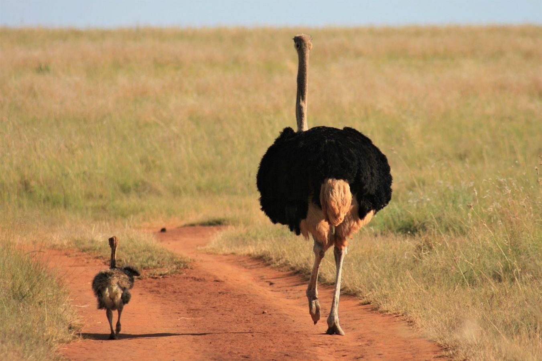 Kgalagadi Transfrontier Park Struisvogel met jong