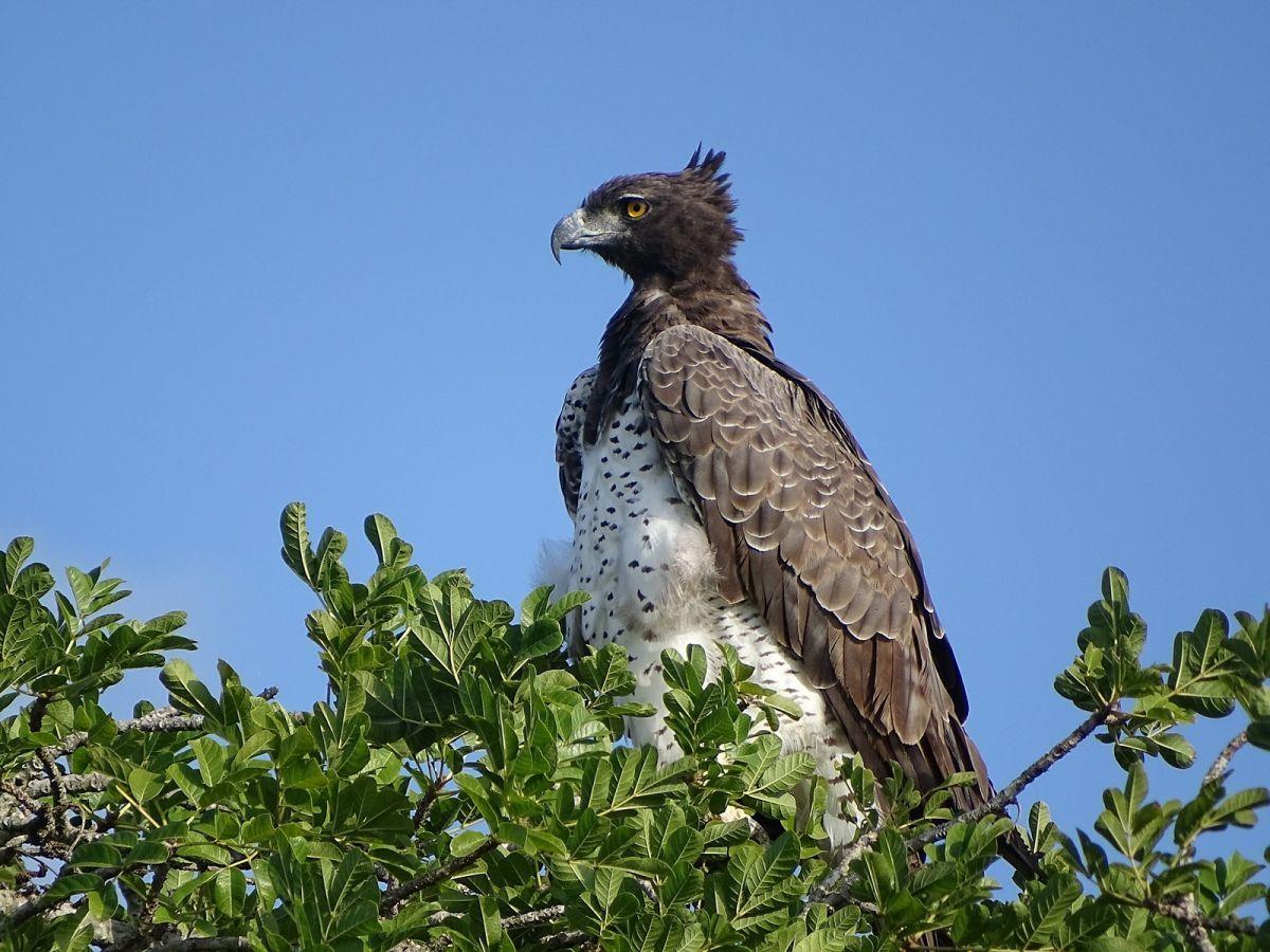 Kgalagadi Transfrontier Park Martial Eagle