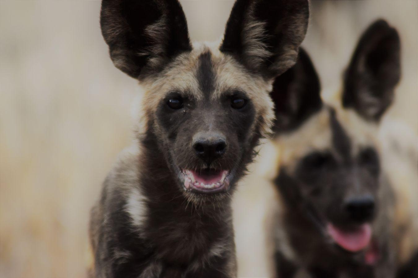 Kgalagadi Transfrontier Park wild dogs