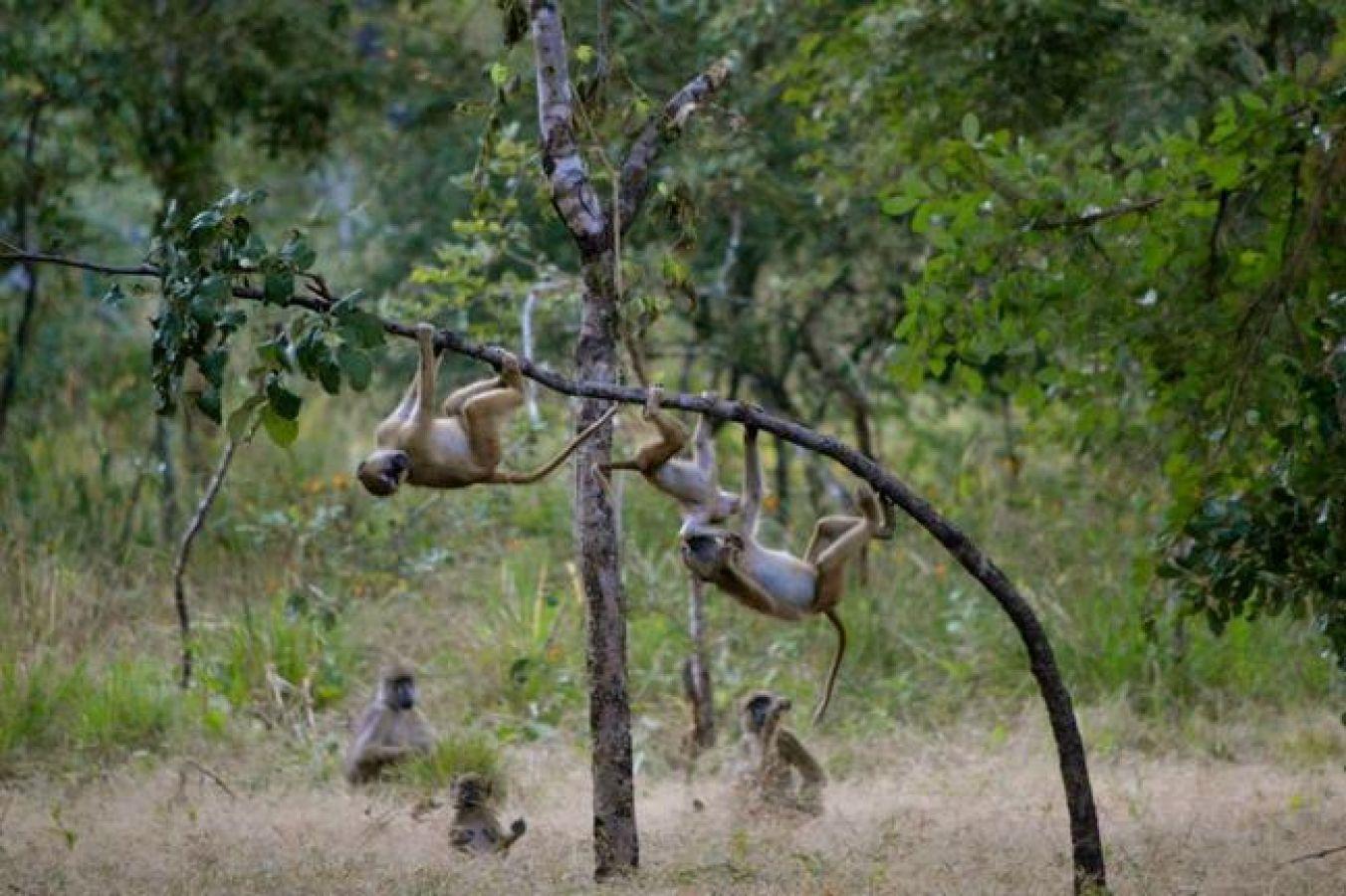 Kuti Wildlife Reserve Baboons