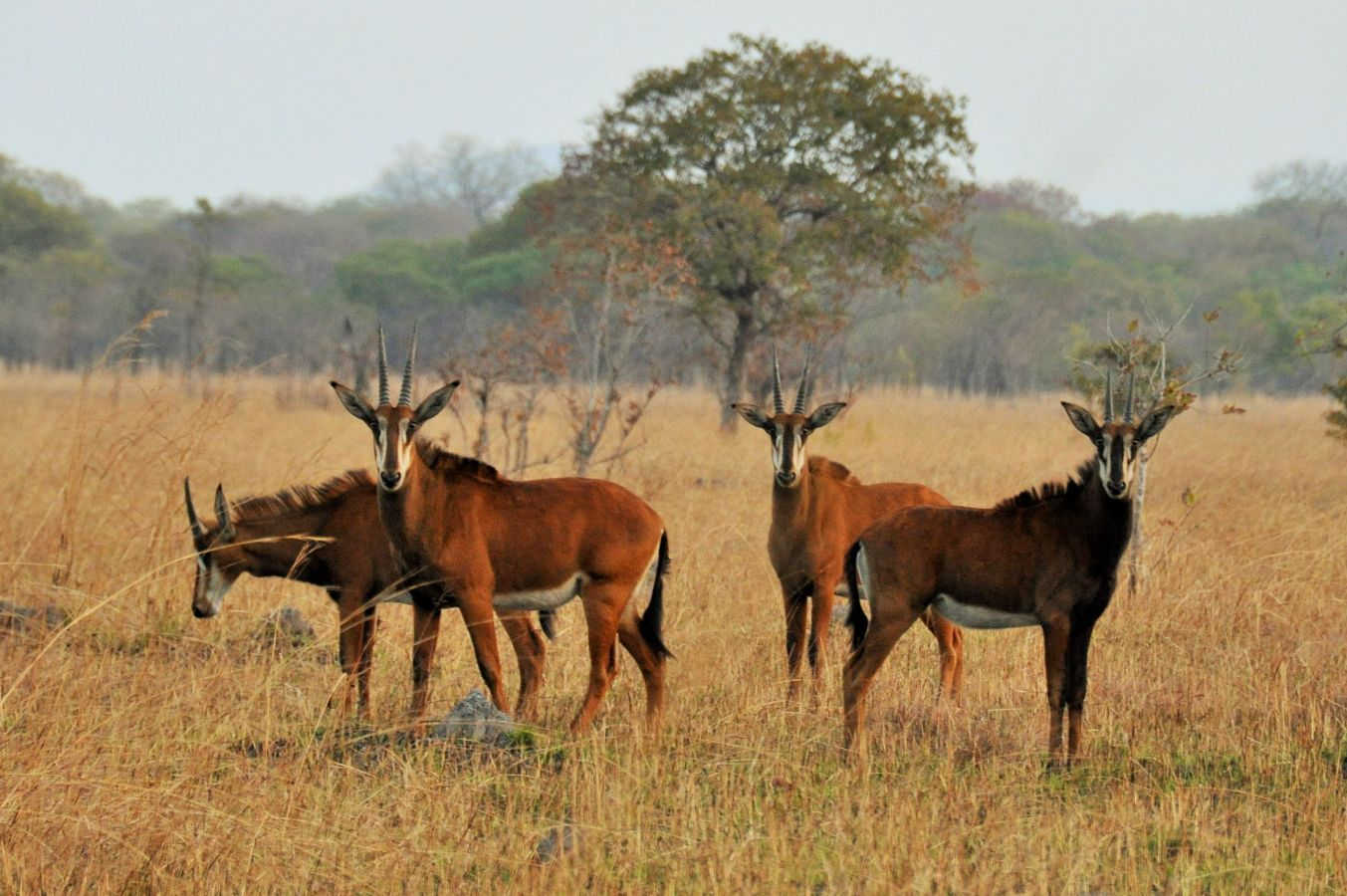 Kuti Wildlife Reserve sable antilopen