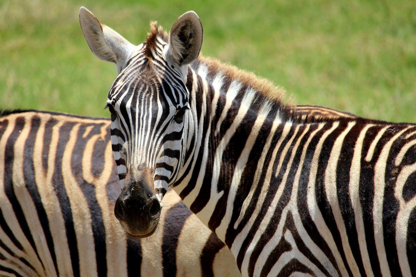 Kuti Wildlife Reserve Zebra's