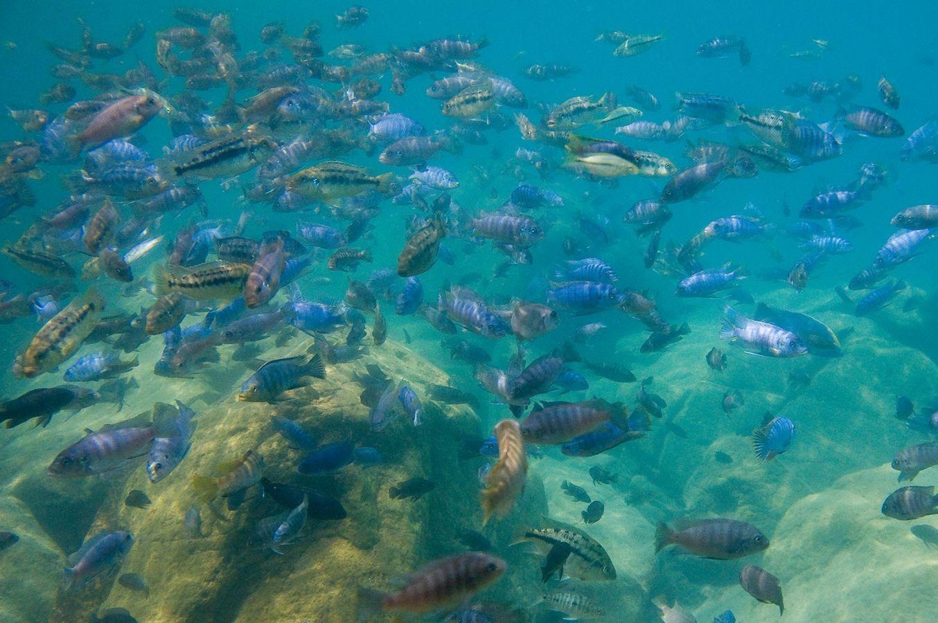 Lake Malawi cichlyden