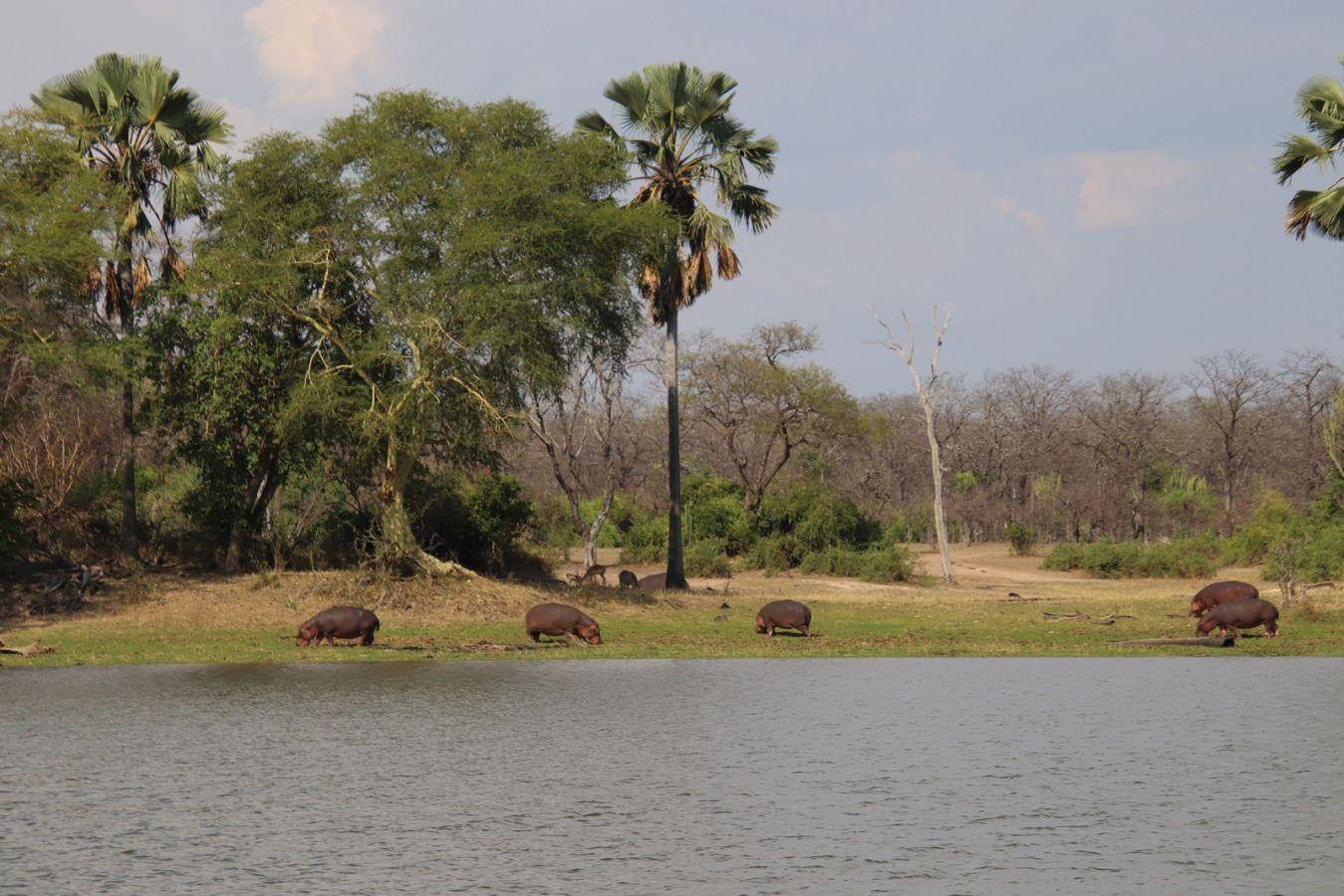 Liwonde National Park nijlpaarden