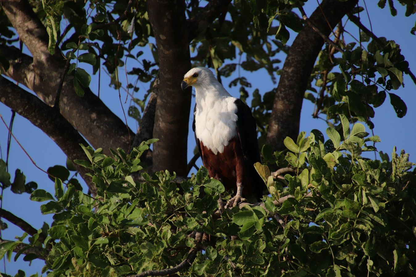 Liwonde National Park fish eagle