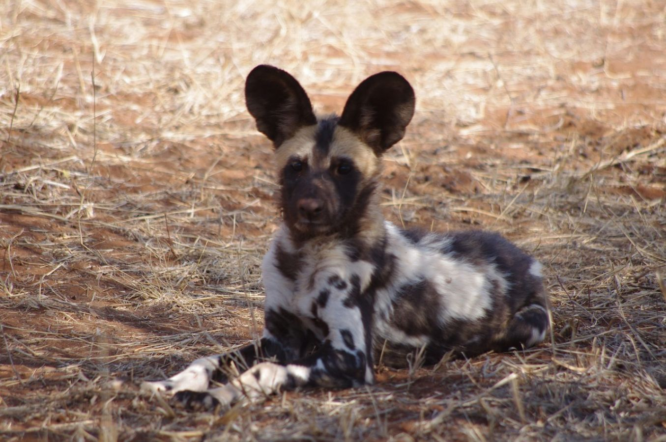 Liwonde National Park wild dogs