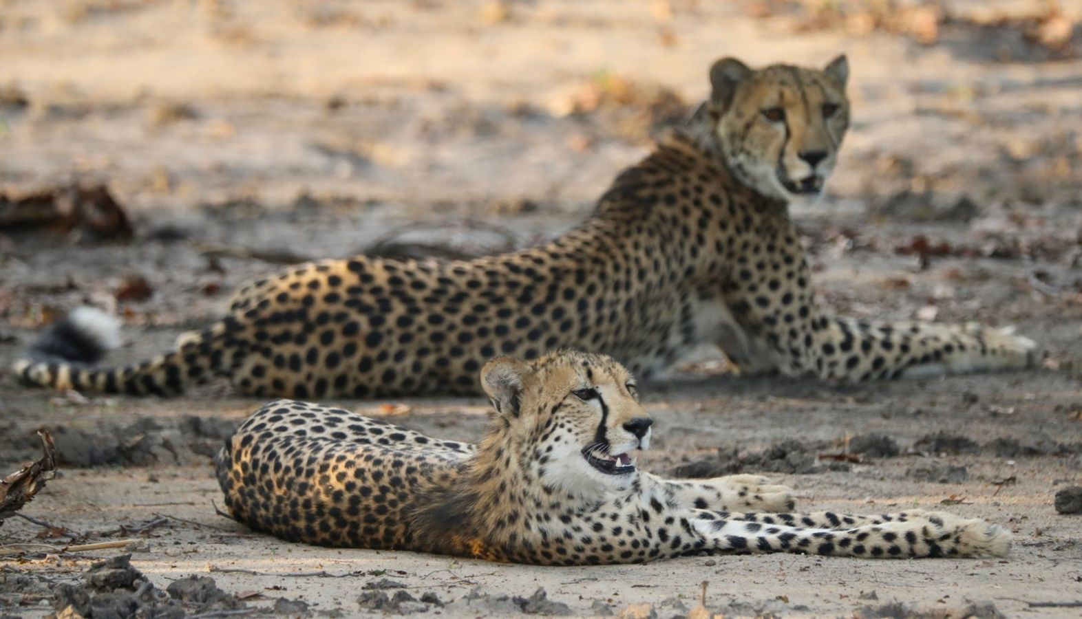 Liwonde National Park cheeta's