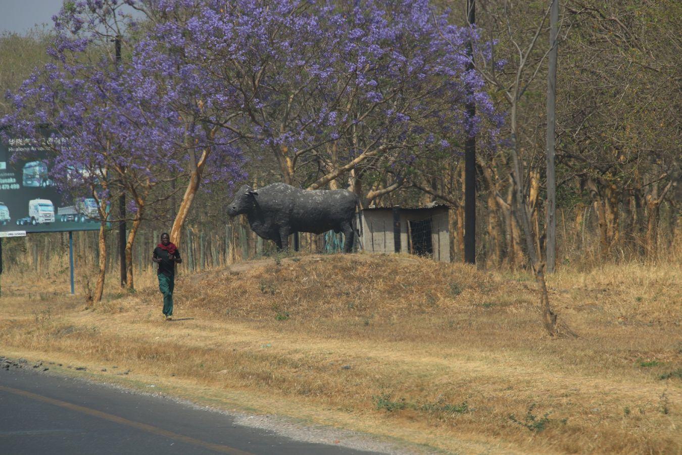 Lusaka Jacaranda's in bloei