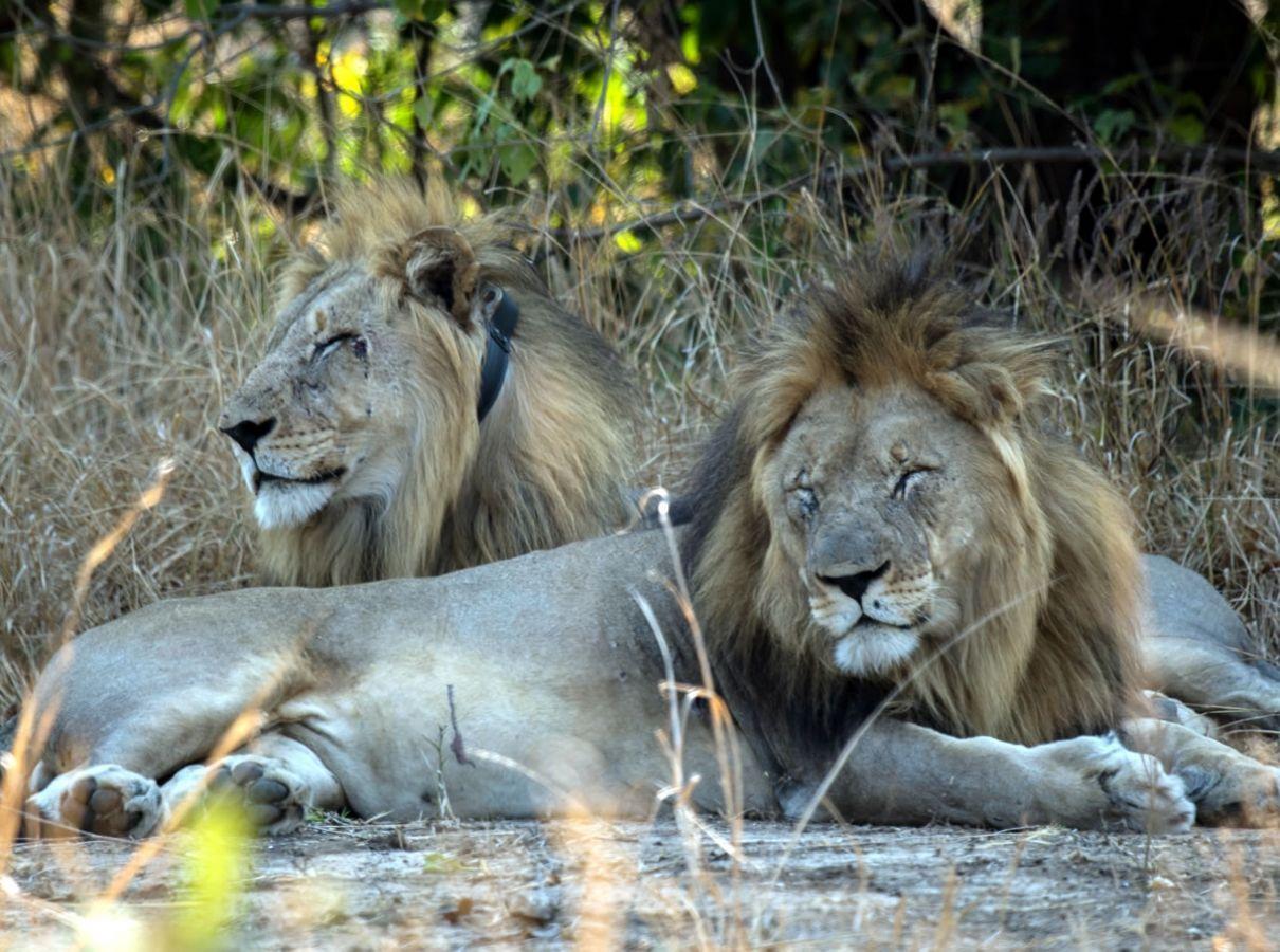 Majete Wildlife Reserve leeuwen