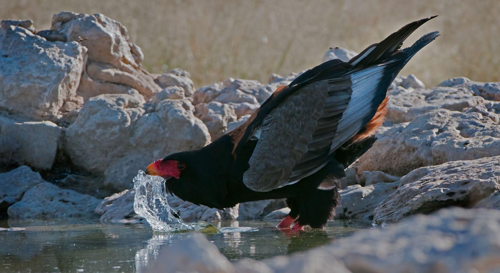 Majete Wildlife Reserve bateleur