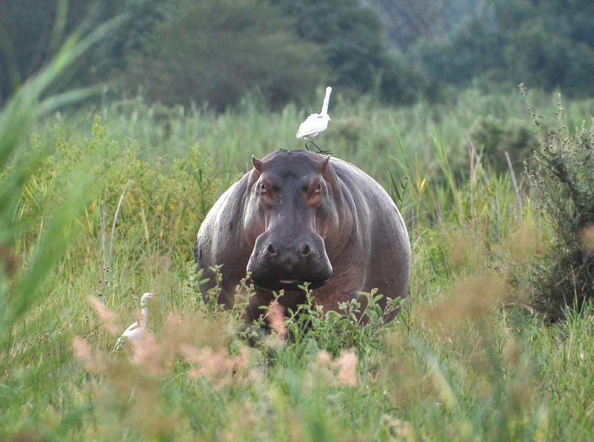 Majete Wildlife Reserve nijlpaard