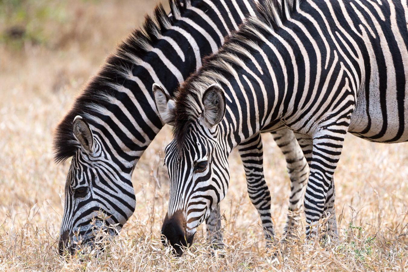 Majete Wildlife Reserve zebra's