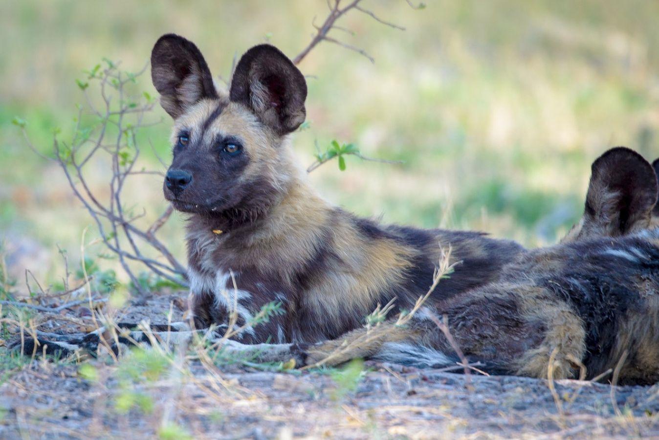 Majete Wildlife Reserve wild dogs