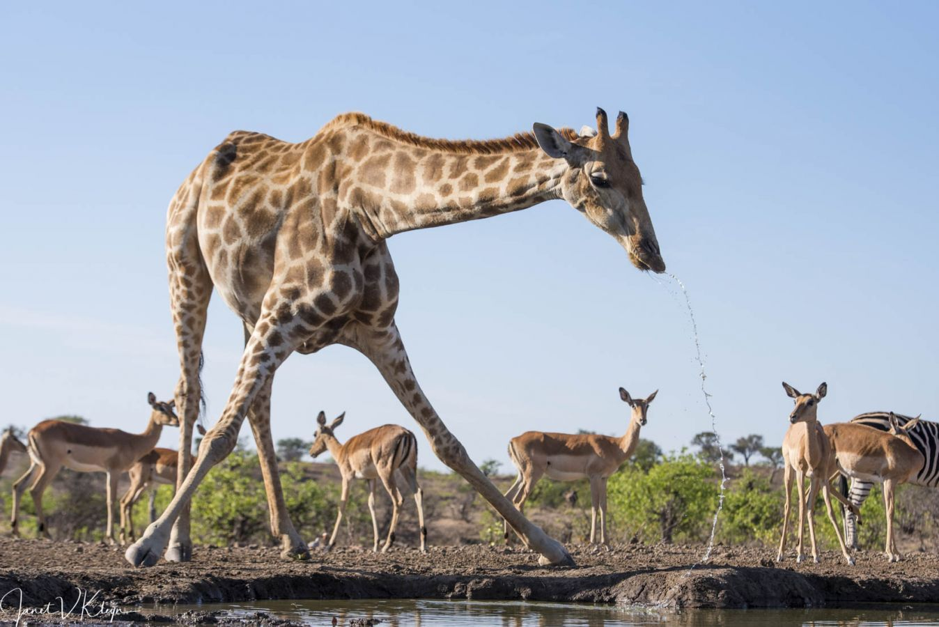 Mashatu Game Reserve giraf