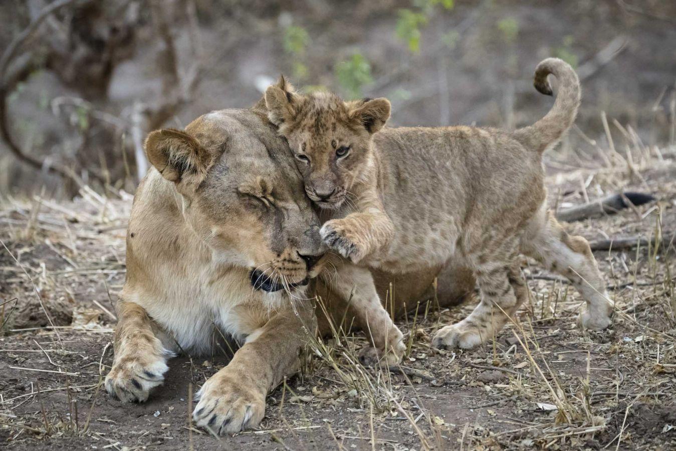 Mashatu Game Reserve leeuwen