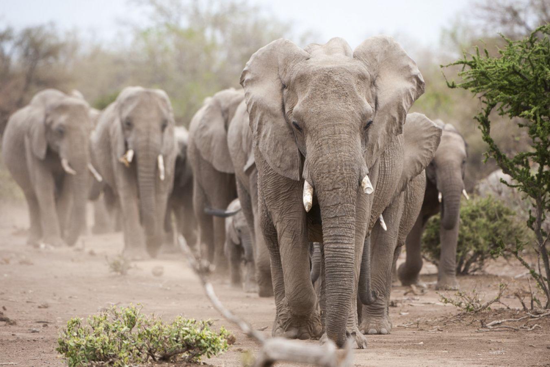 Mashatu Game Reserve olifanten