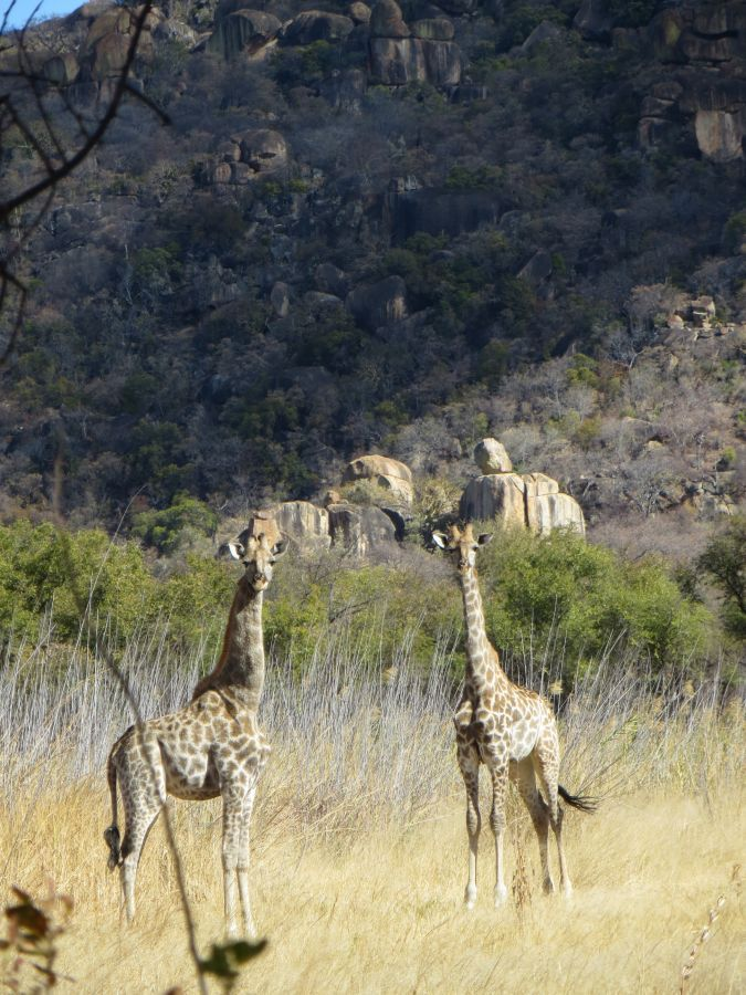 Giraffen in Matobo National Park  - ©Fair Mundo Travel