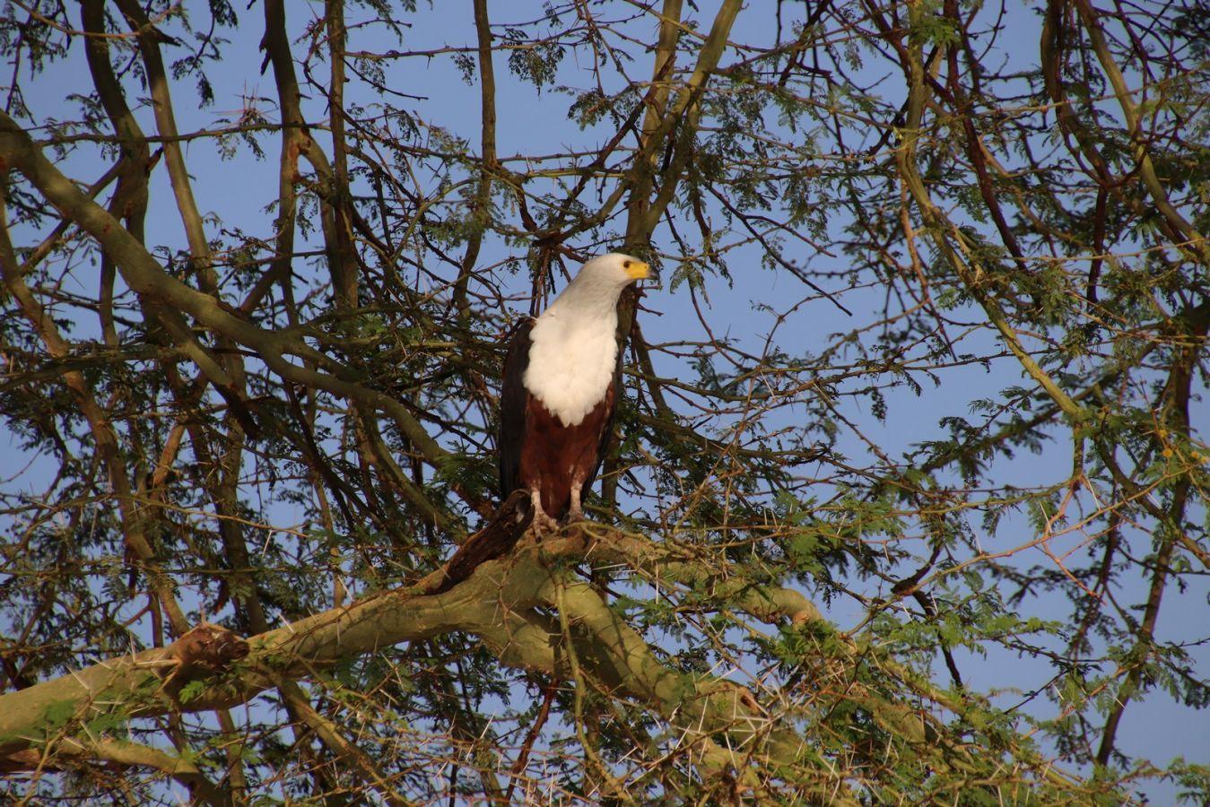 Mvuu Camp fish eagle