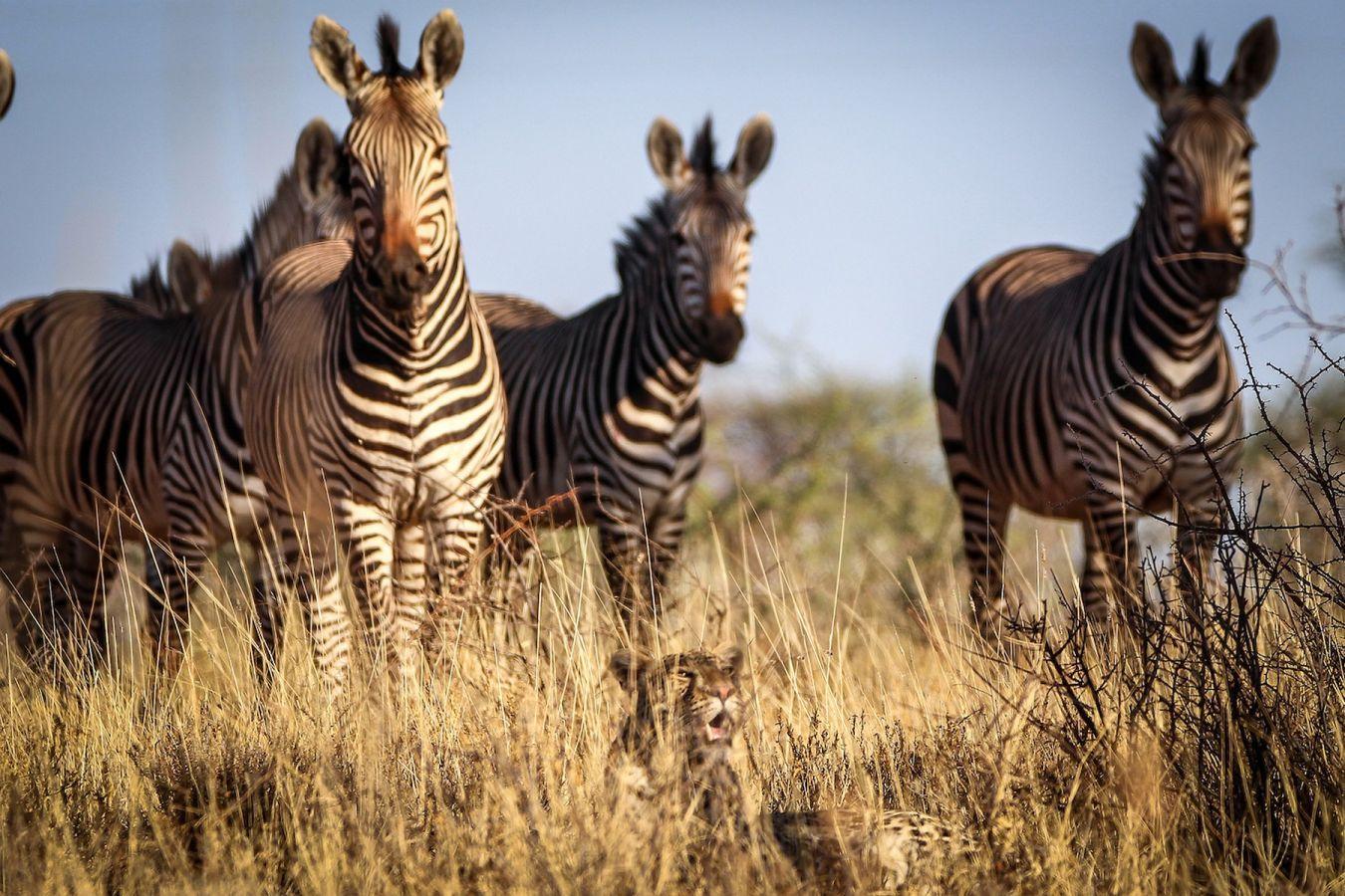 Zebra's in Okonjima Nature Reserve