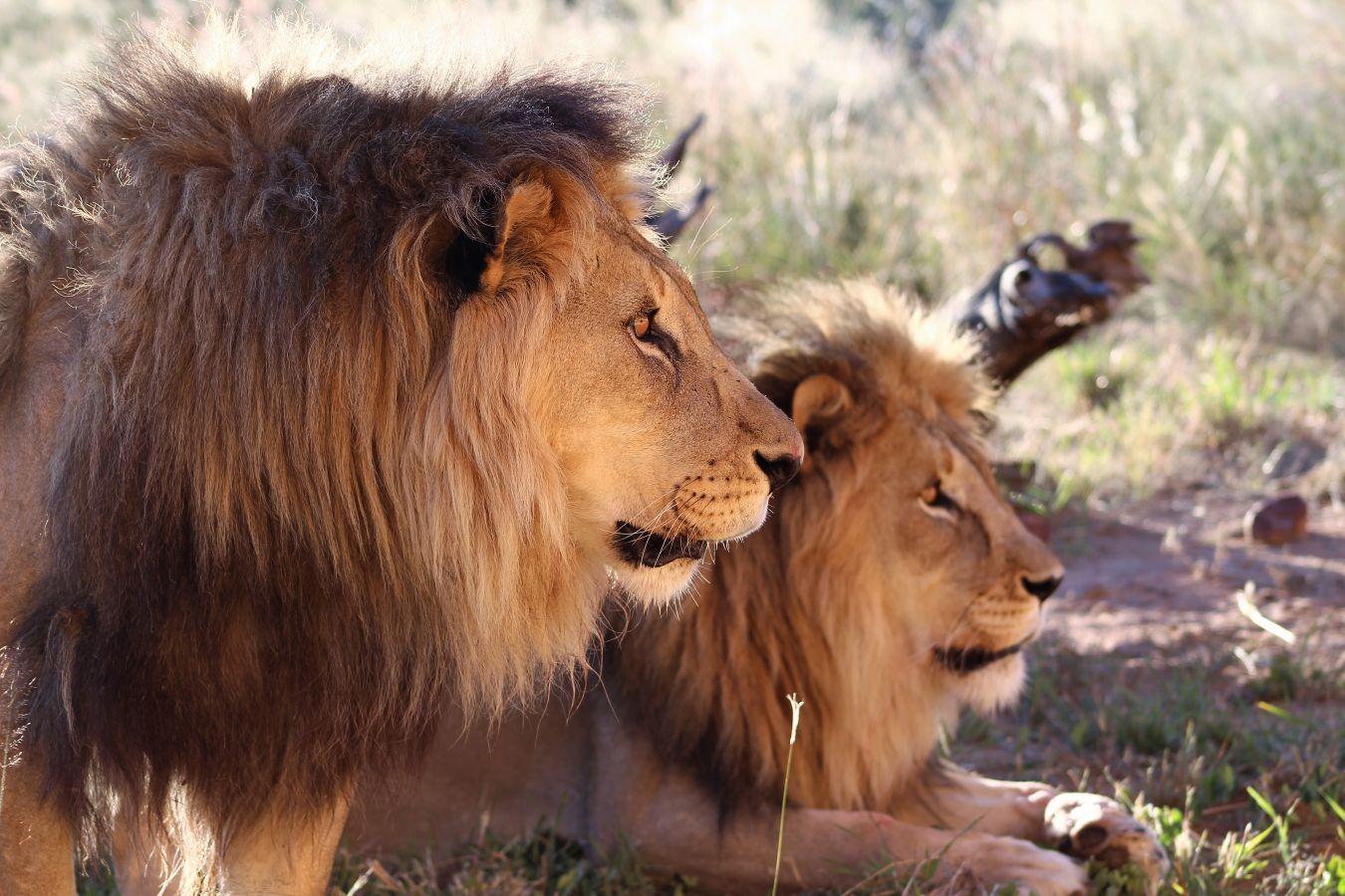 Leeuwen in Okonjima Nature Reserve