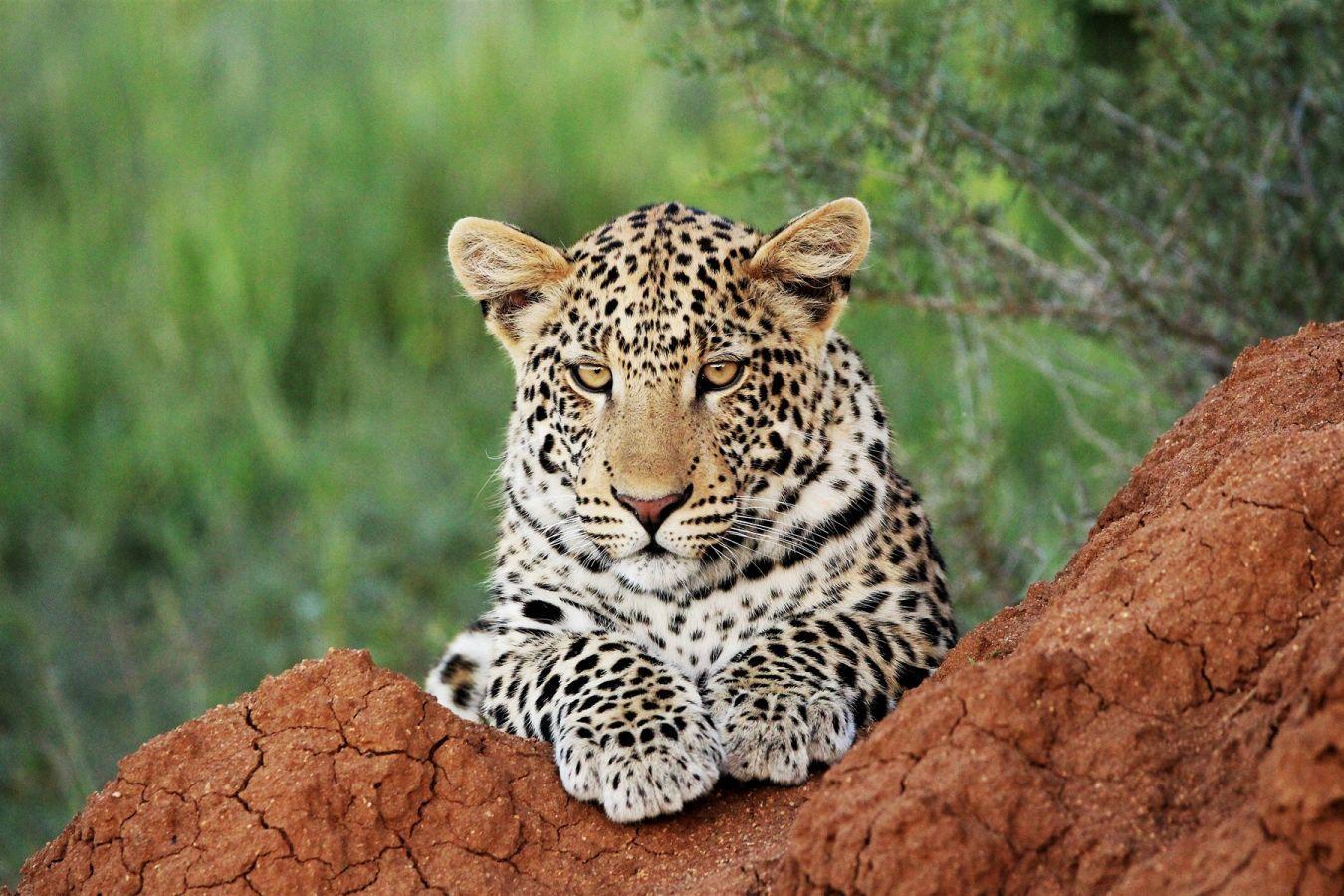 Luipaard in Okonjima Nature Reserve