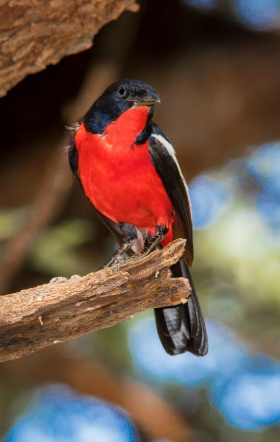 Crimson-breasted Shrike in Okonjima Nature Reserve