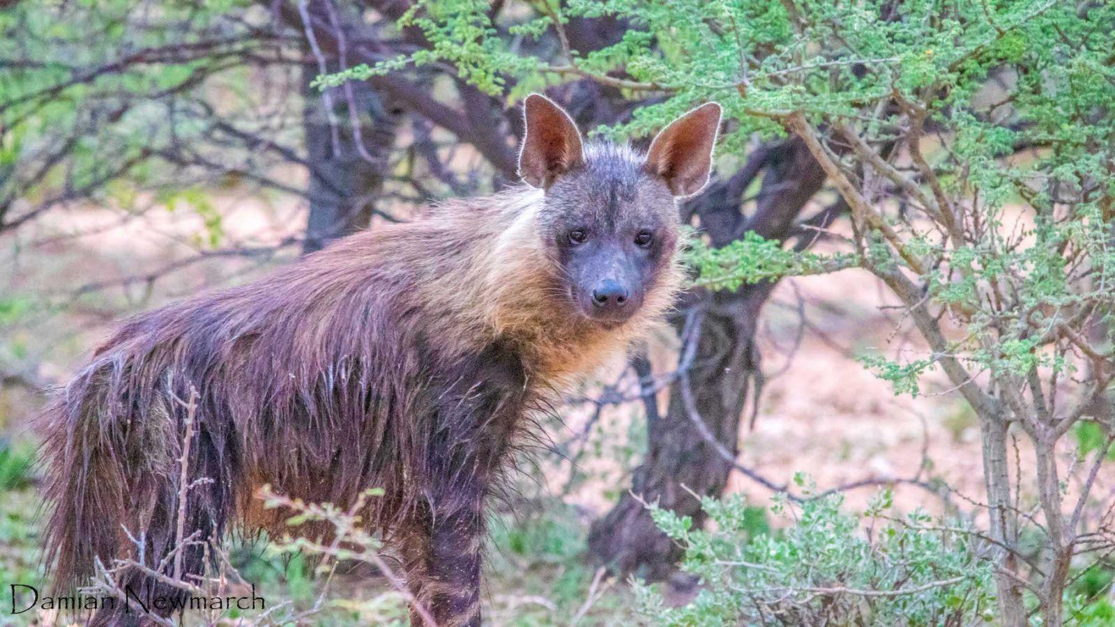 Bruine hyena in Okonjima Nature Reserve