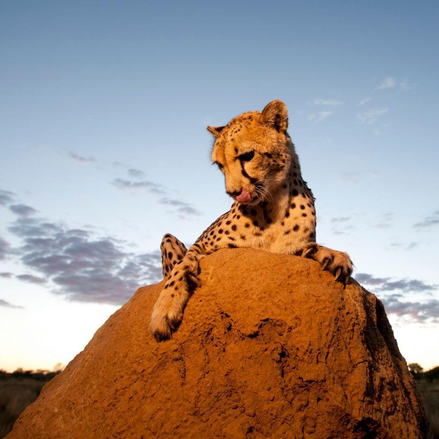 Cheeta in Okonjima Nature Reserve