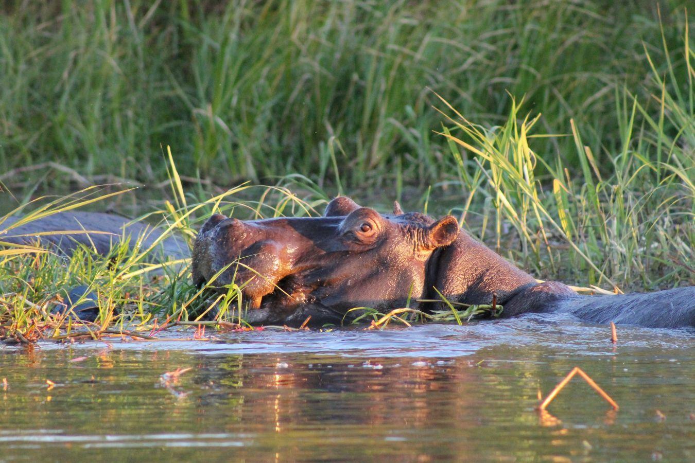 Popa Falls nijlpaarden