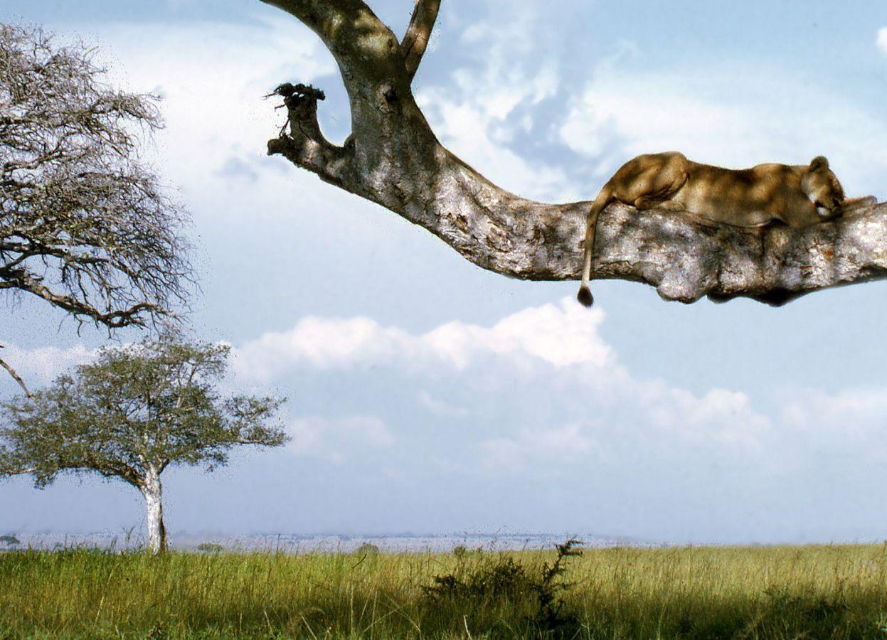 Queen Elizabeth National Park tree climbing lions