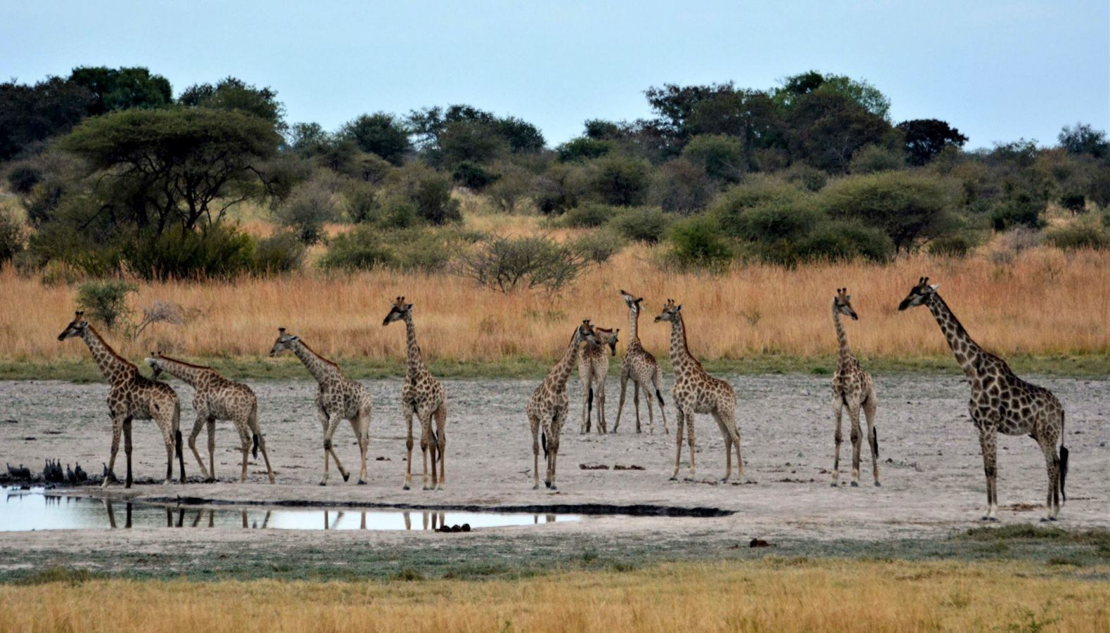 Thobolos Bush Lodge giraffen