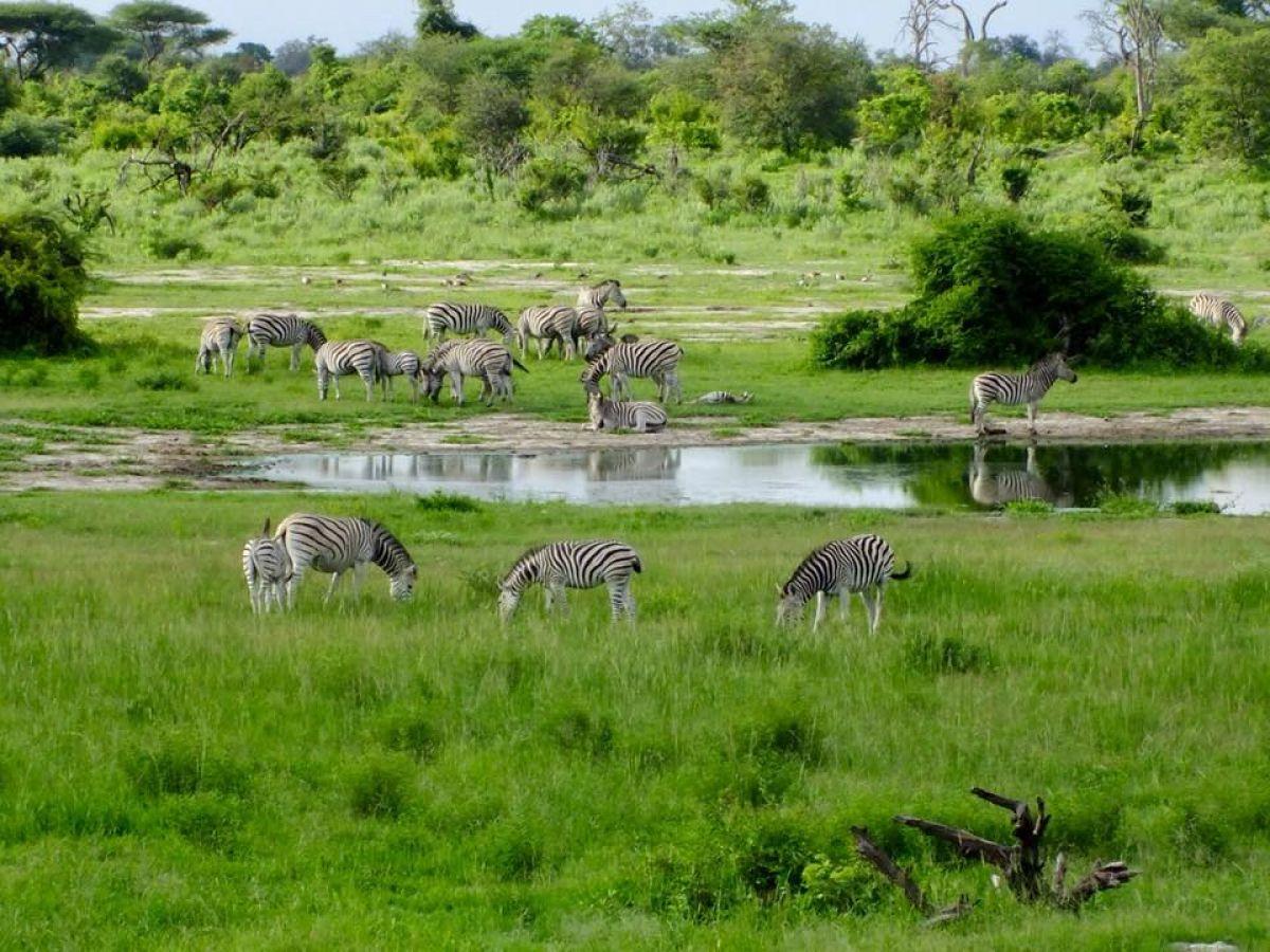 Thobolos Bush Lodge zebra's
