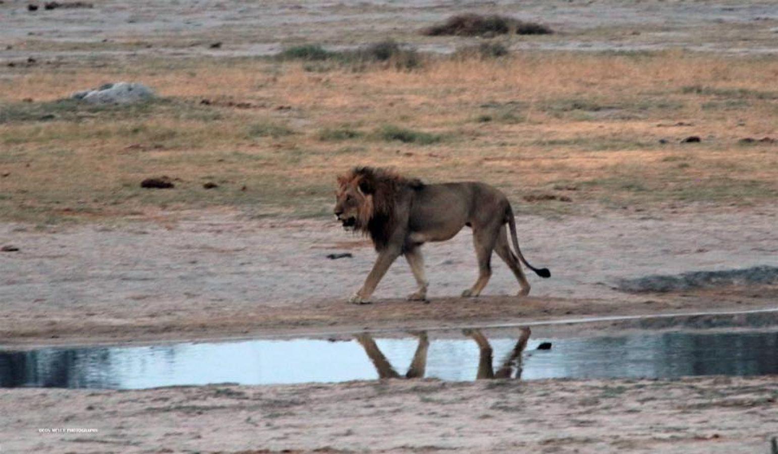 Thobolos Bush Lodge leeuw