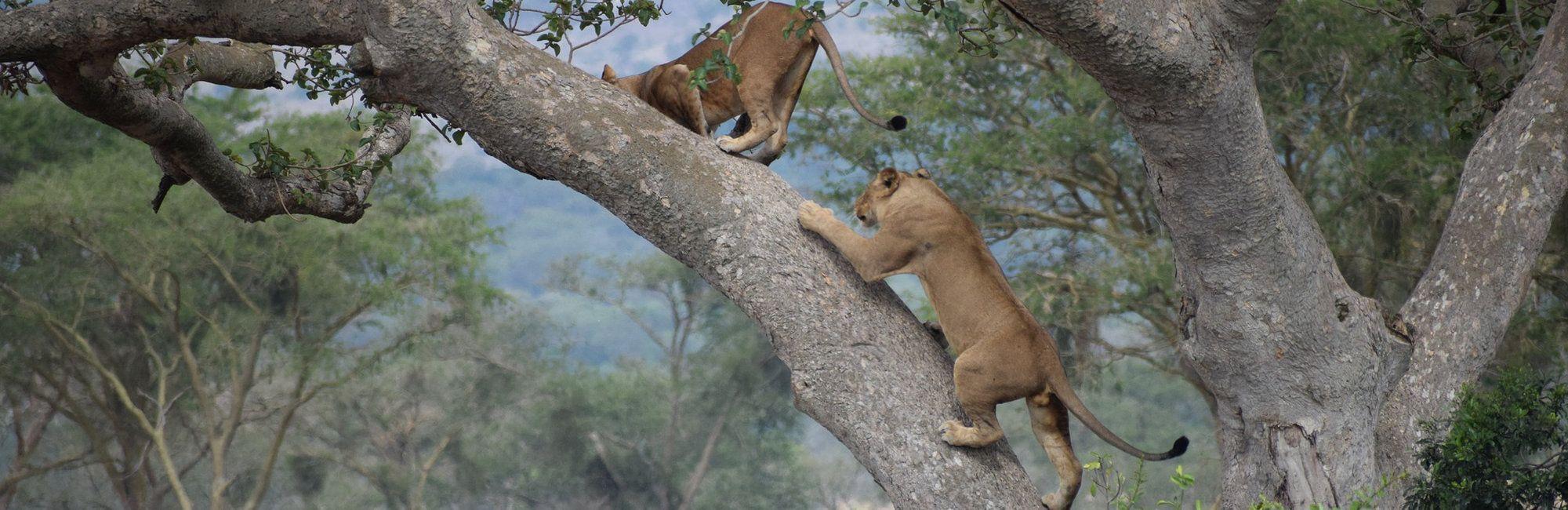 Oeganda Leeuwen in boom